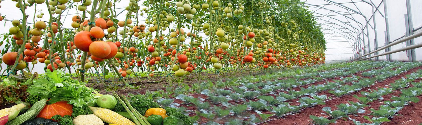 crop protection in kenya, tomato insects protection, foliar fertilizers in kenya