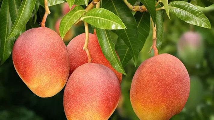 Mango production in kenya, Fruits pests control, pesticide control in kenya, fruits insects conrtol