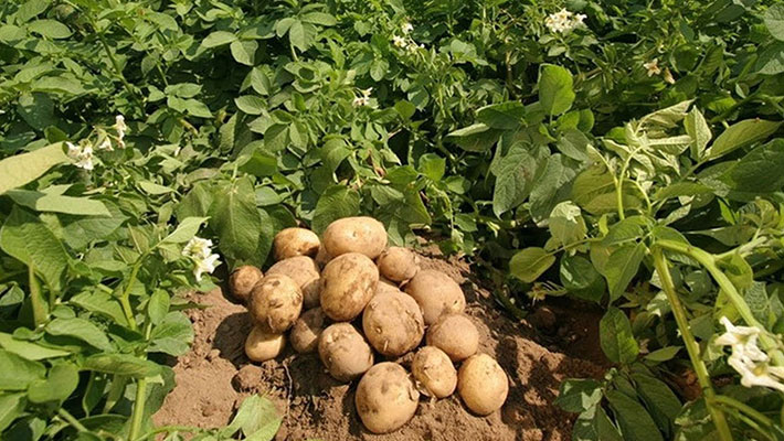 Potato production in kenya, Fruits pests control, pesticide control in kenya, fruits insects conrtol