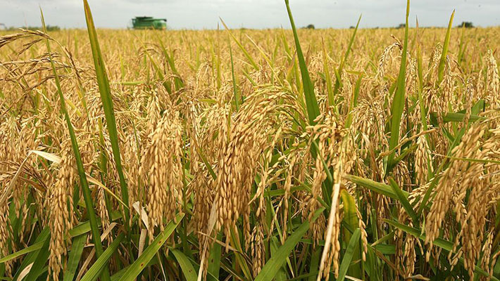 RICE production in kenya, Fruits pests control, pesticide control in kenya, fruits insects conrtol